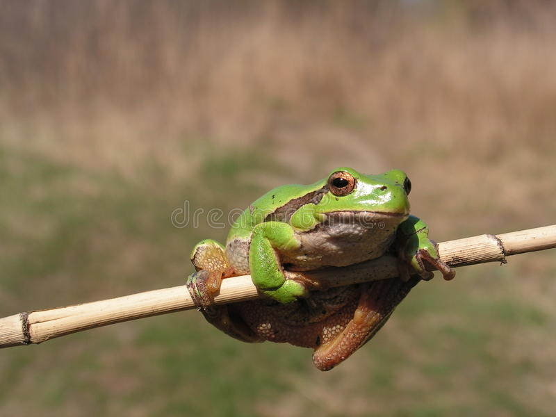 Download Green Tree Frog stock photo. Image of yellow, portrait - 29983206