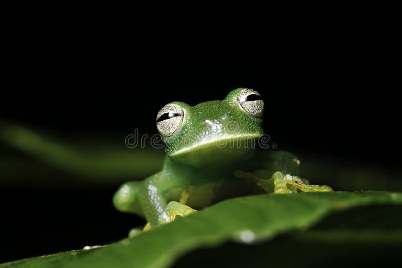 Download Green Tree Frog On Leaf Amazon Animal Amphibian Stock Image - Image: 14157641