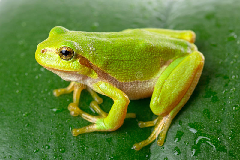 Download Green Tree Frog On The Leaf Stock Image - Image of biology, cute: 33591709