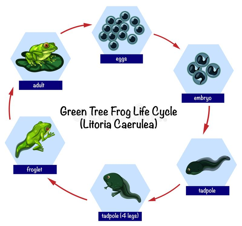 Green tree frog life cycle. Illustration stock illustration