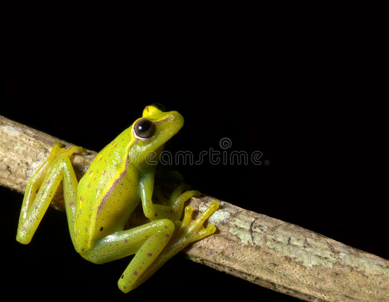 green tree frog looking up at night in rainforest royalty free stock photography