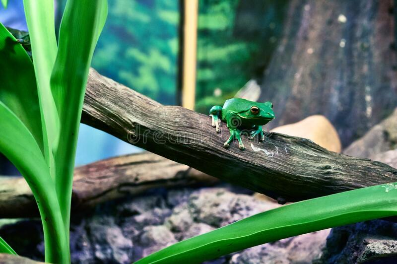 Green Tree Frog Perching on Tree during Daytime royalty free stock images