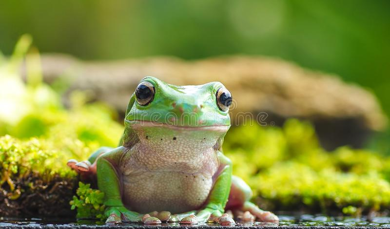 Green tree frog portrait. Green tree frog front view royalty free stock photos