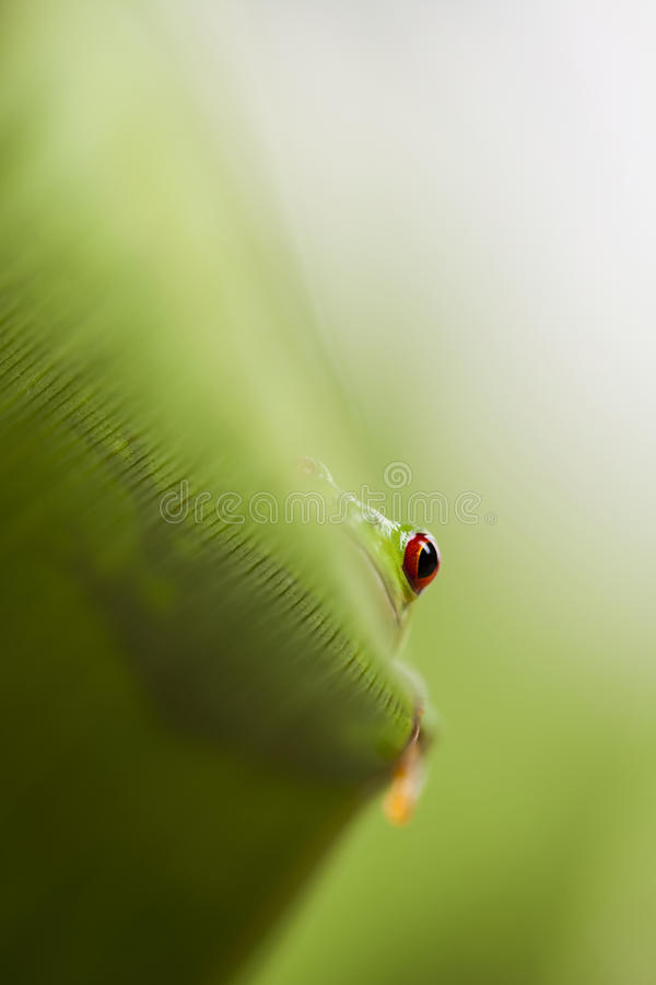 Green tree frog. Red eye tree frog on leaf on colorful background stock photo