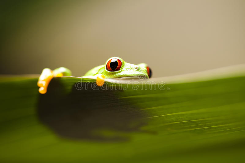 Green tree frog. Frog shadow on the leaf on colorful background royalty free stock photo