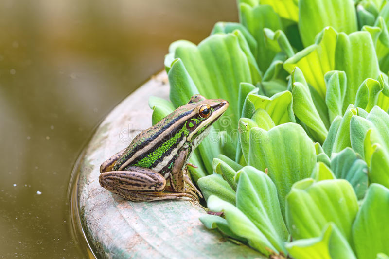 A green tree frog sitting on a tub and Water lettuce. In natural light royalty free stock photography