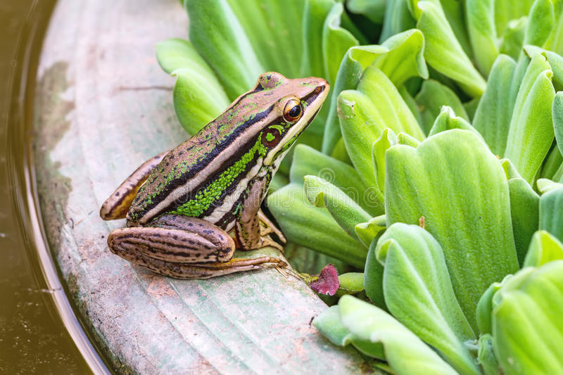 A green tree frog sitting on a tub and Water lettuce. In natural light stock photos