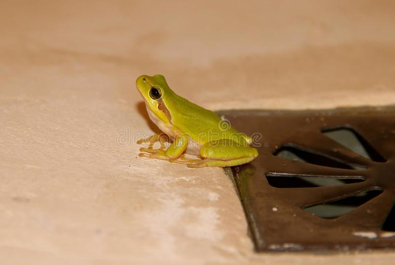 Green tree frog in the royalty free stock photo