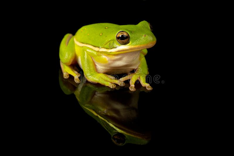 Green Tree Frog Studio Portrait royalty free stock photo