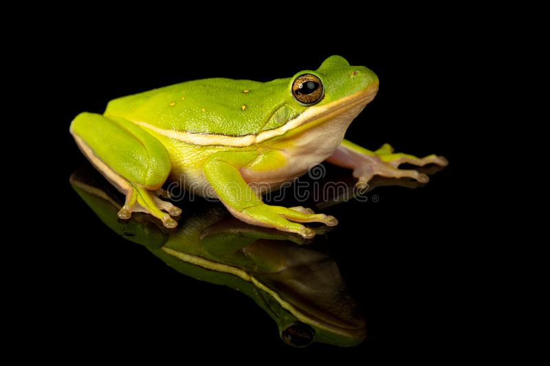 Green Tree Frog Studio Portrait royalty free stock images