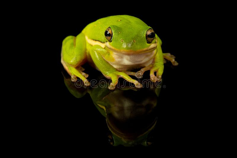 Green Tree Frog Studio Portrait stock images
