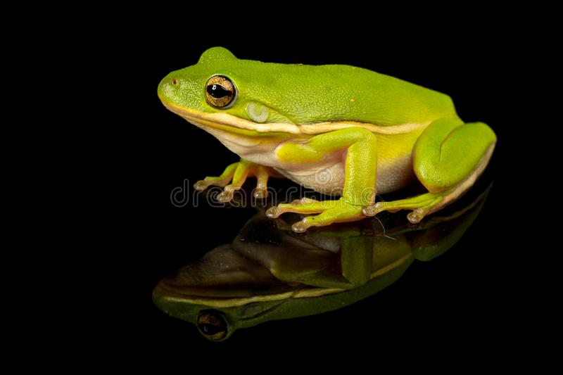 Green Tree Frog Studio Portrait royalty free stock photography