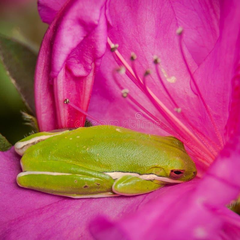 Green Tree Frog Naps in an Azalea royalty free stock photography