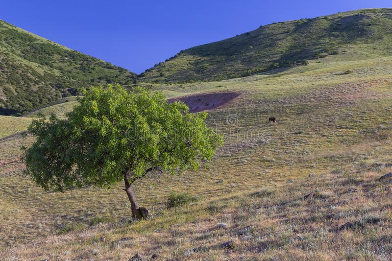 Green tree and grazing cow on a plain in the mountains. Nature royalty free stock photos