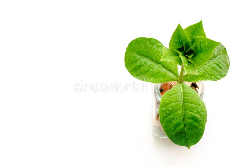 Green tree growing from coins in the glass jar on white background royalty free stock photo