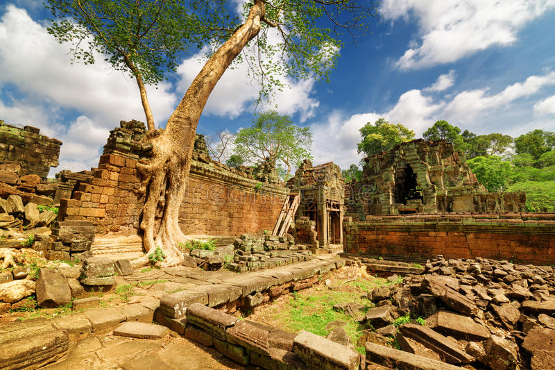 Green tree growing among ruins of Preah Khan temple in Angkor stock images