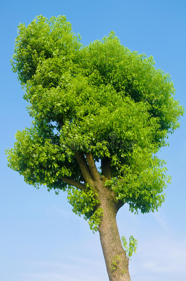 Green tree. A tree is grown leaves royalty free stock photo