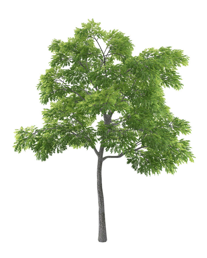 Green tree isolated on white background royalty free illustration