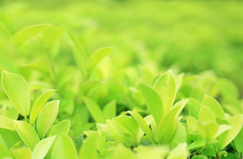 Green tree leaf on blurred background in the park with copy space and clean pattern. Close-up nature leaves in field for use in. Web design or wallpaper royalty free stock image