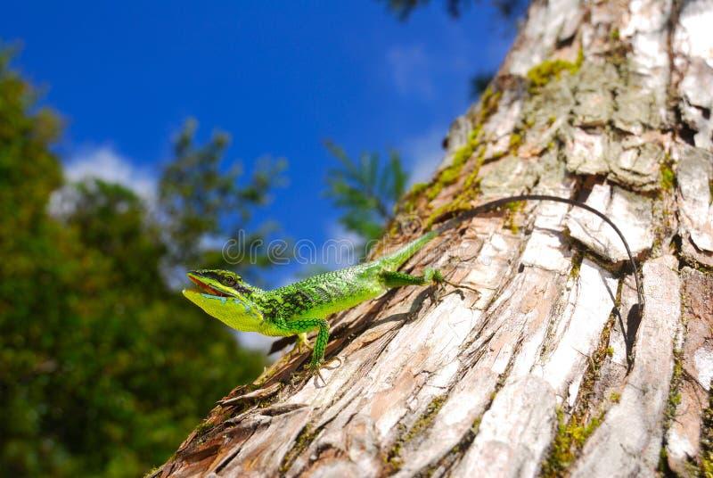 Green Tree Lizard Stock Photos