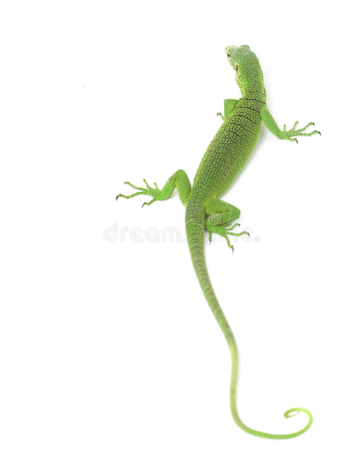 Download Green Tree Monitor Lizard stock photo. Image of image - 7260600