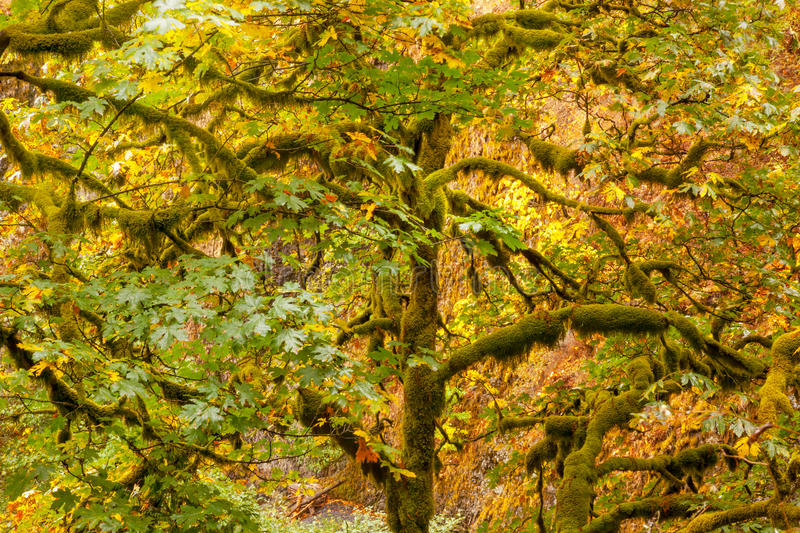 Green Tree Moss Colorful Fall Autumn Leaves royalty free stock image