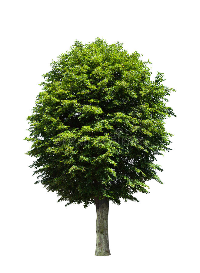 Green tree over white royalty free stock photos