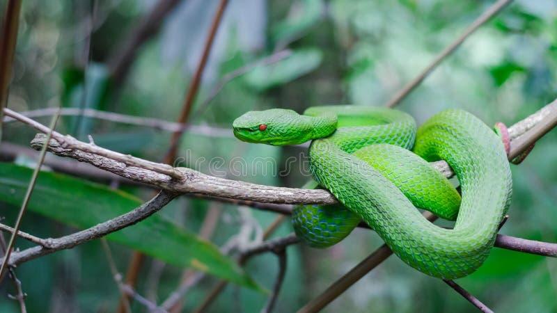 Green Tree Pit Viper stock image