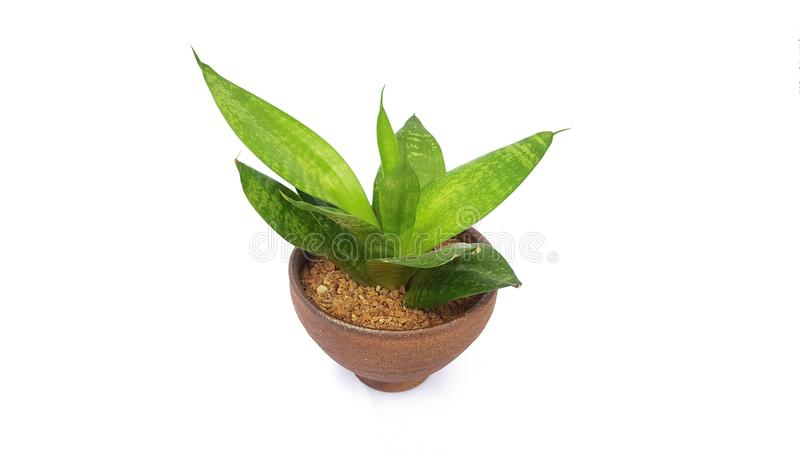 Green tree plant in brown terracotta pot for indoor isolated on white background stock photography