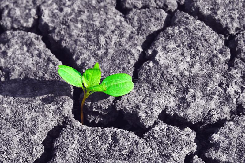 Green tree plant sprouting through dry cracked soil stock images