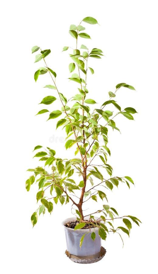Green Tree In Pot On White Royalty Free Stock Photos