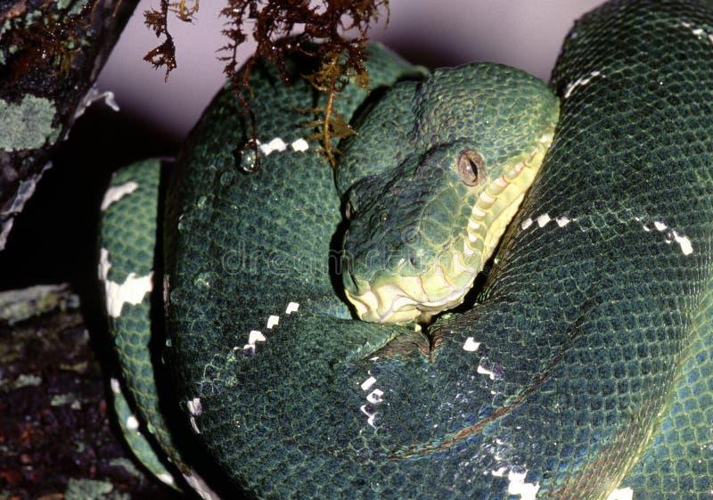 Download Green Tree Python Royalty Free Stock Photo - Image: 12533175