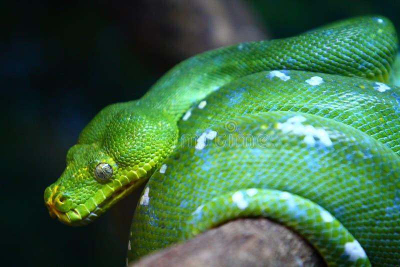 Download Green Tree Python stock photo. Image of southeast, viridis - 15694014