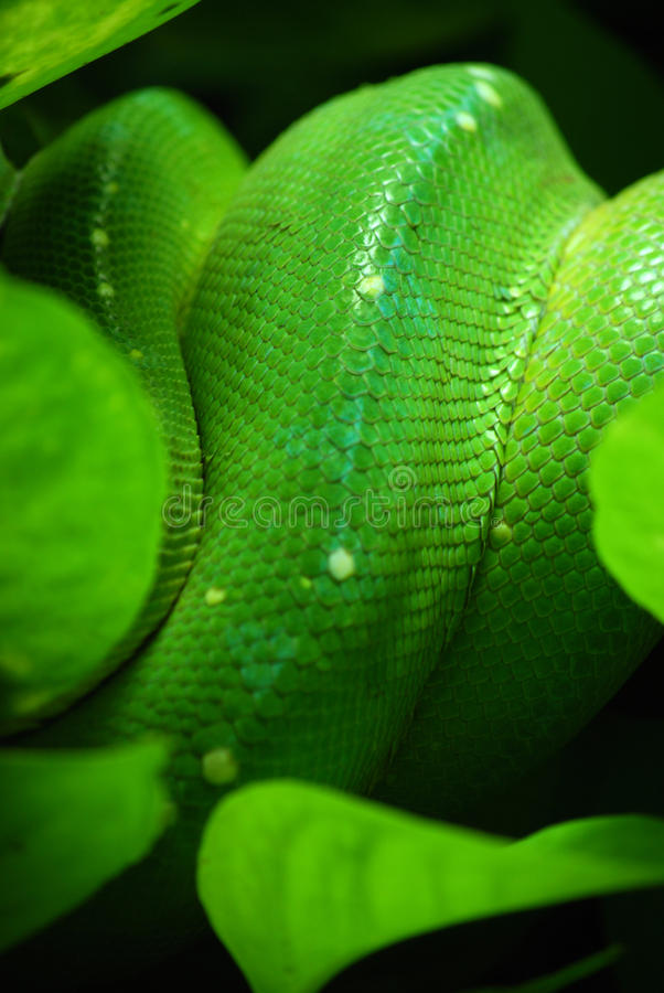Green tree python stock photography