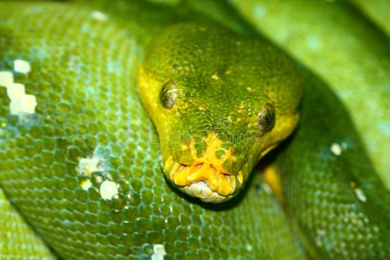 Download Green tree python stock image. Image of reptile, morelia - 21050855