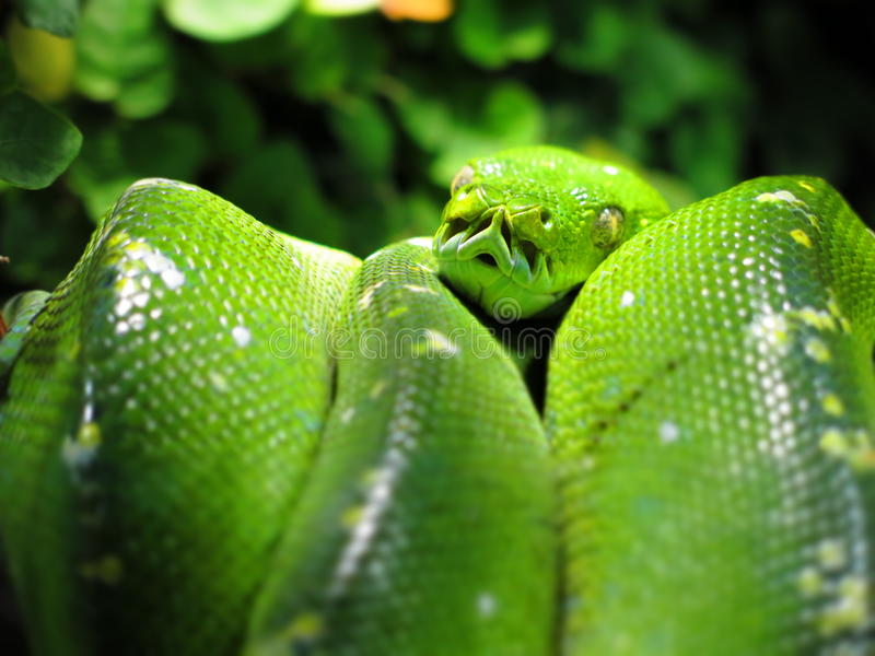 Download Green tree python stock image. Image of background, leaves - 39625599