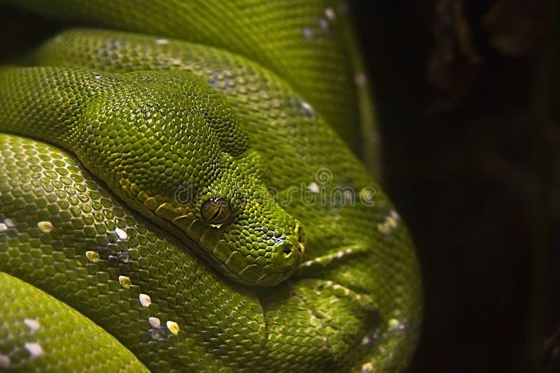 Download Green Tree Python - Morelia Viridis Stock Photos - Image: 26553763