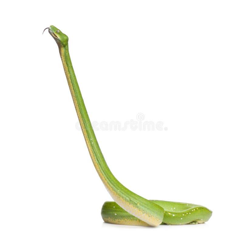 Green tree python - Morelia viridis (5 years old) stock image