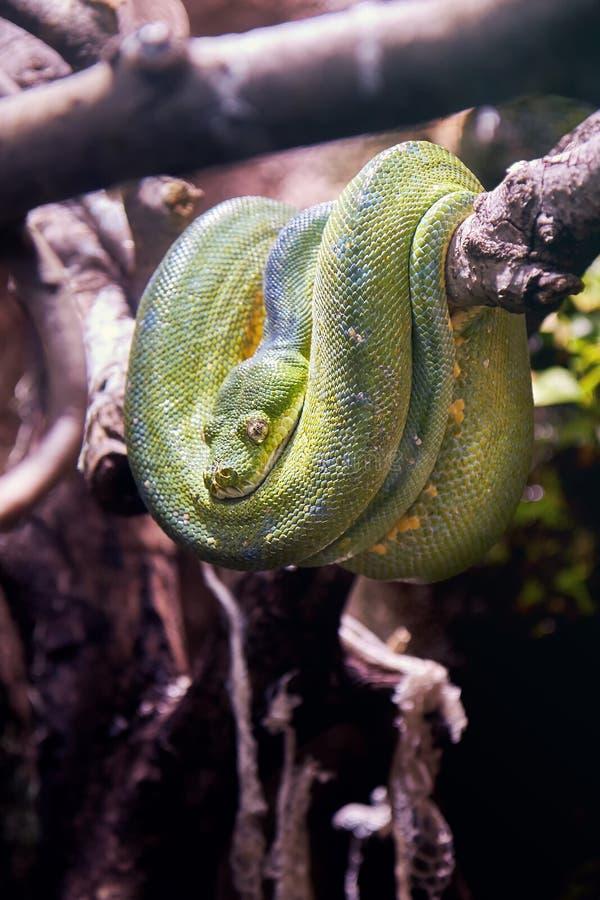 Green tree python. Morelia viridis resting on a tree stock photography
