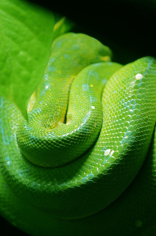 Green tree python royalty free stock photography