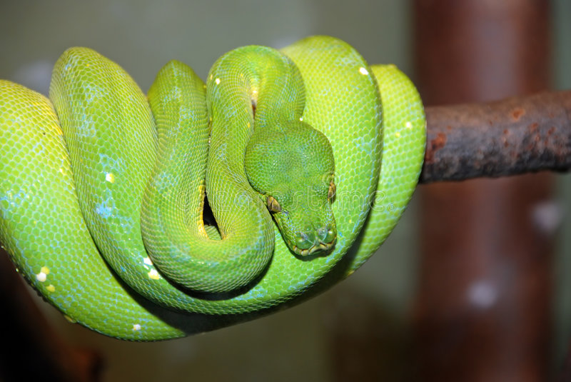 Green tree python snake, Chondropython viridis royalty free stock photography