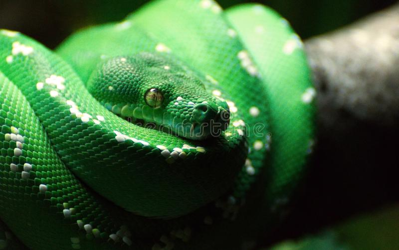 A GREEN TREE SNAKE COILED UP ON A TREE BRANCH. A GREEN TREE PYTHON COILED UP ON A TREE BRANCH WITH T`S EYE IN FOCUS royalty free stock images