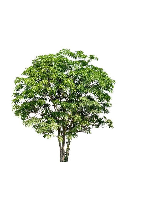 Green tree with white background,Isolated tree on white background royalty free stock photos