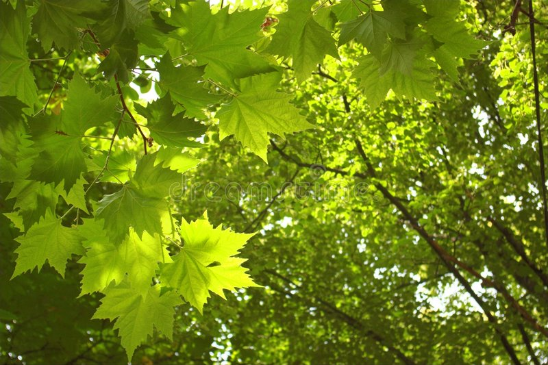 Green trees background royalty free stock photo