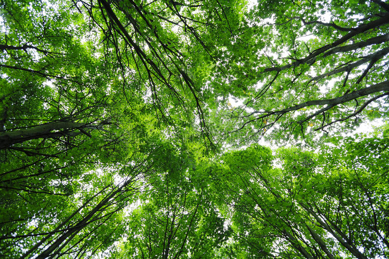 Green trees leaves canopy. Green leaves trees canopy natural background royalty free stock images