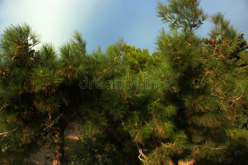 Green trees, conifers, rare plants, pine, nature of the Crimea. Coastal landscape, rare trees, trunk and branches of a tree, foliage, park and garden royalty free stock images