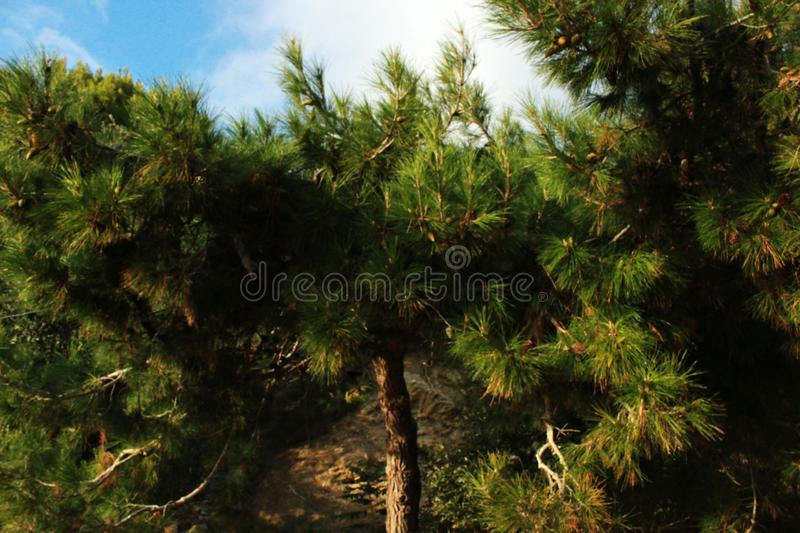 Green trees, conifers, rare plants, pine, nature of the Crimea. Coastal landscape, rare trees, trunk and branches of a tree, foliage, park and garden royalty free stock photo