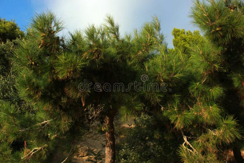 Green trees, conifers, rare plants, pine, nature of the Crimea. Coastal landscape, rare trees, trunk and branches of a tree, foliage, park and garden stock photo