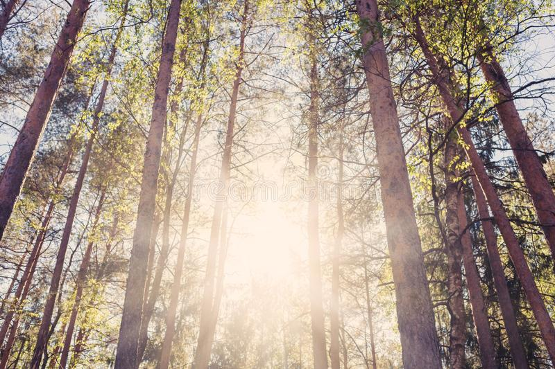 Brown and green trees background. Green trees, forest, background, sun is shine, toned stock photography