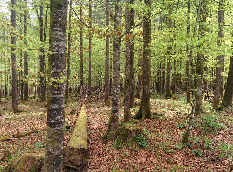 Green trees in the forest with a big old tree laying on the ground royalty free stock photos